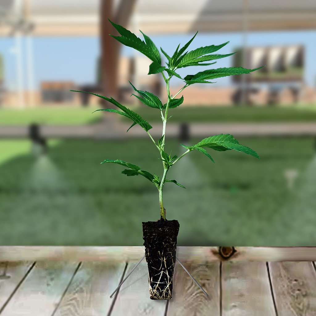 Imperial Seedlings Hemp Transplant